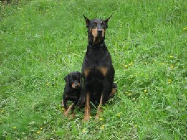 ಡಾಬರ್ಮನ್  Dobermann and puppy