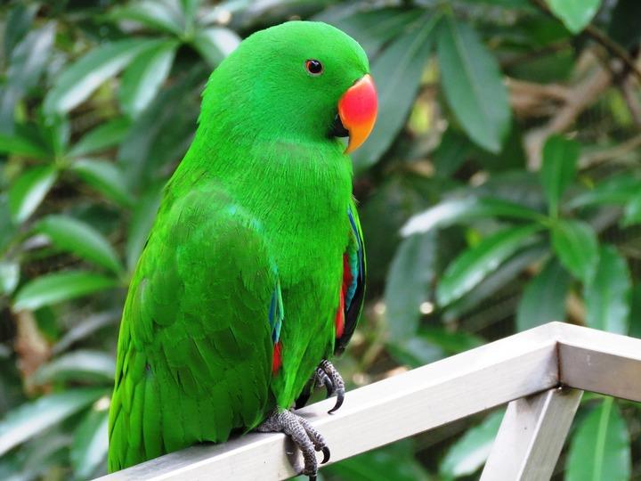 parrot, baby, ಮುದ್ದು ಗಿಳಿಮರಿ