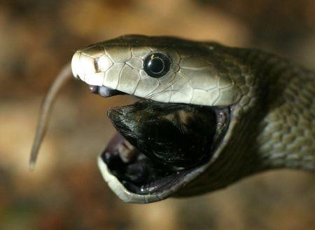 ಬ್ಲ್ಯಾಕ್ ಮಾಂಬಾ, ನಂಜು, ಹಾವು, Black mamba, poisonous snake