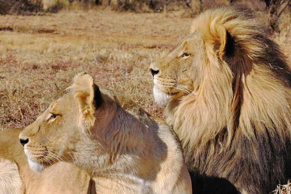 ಸಿಂಹ, lion