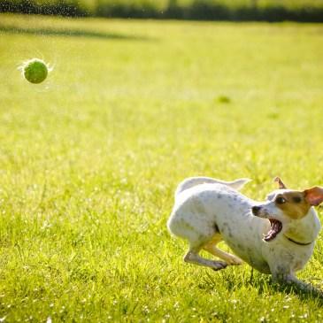 Hoe gooi je een bal voor je hond