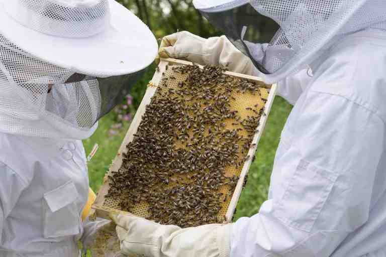Two beekeepers looking at a frame of bees and honey