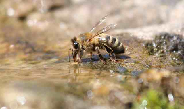 How Far Do Bees Travel For Water