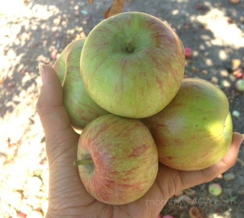 Pick fresh apples this fall with these great places to go Julian apple picking in San Diego