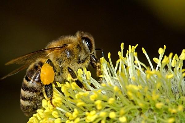 Honey bee carrying pollen in her corbiculae.
