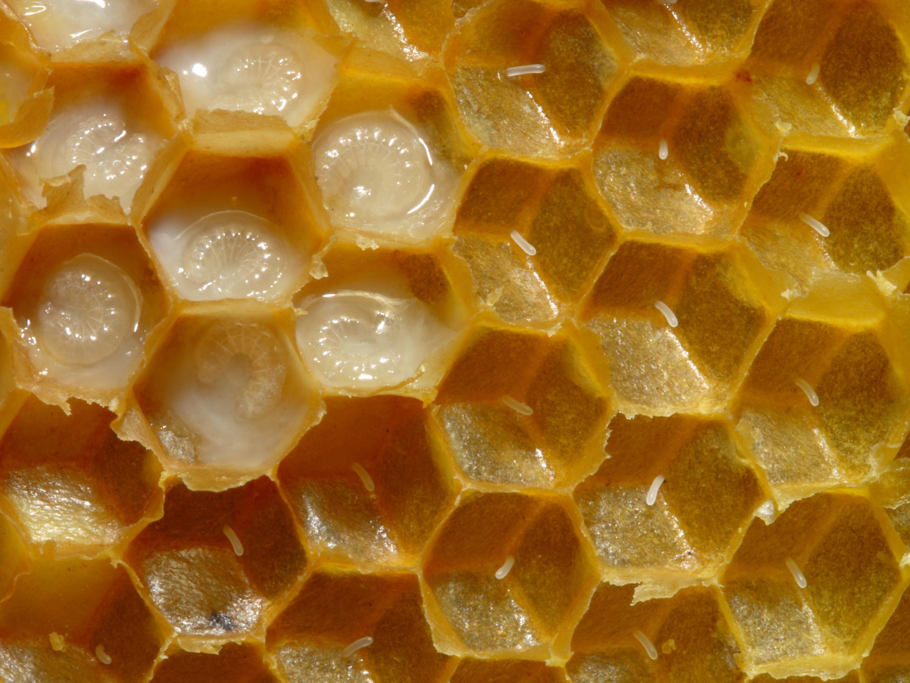 Honey Bee Eggs In The Brood Nest Honey Bee Suite