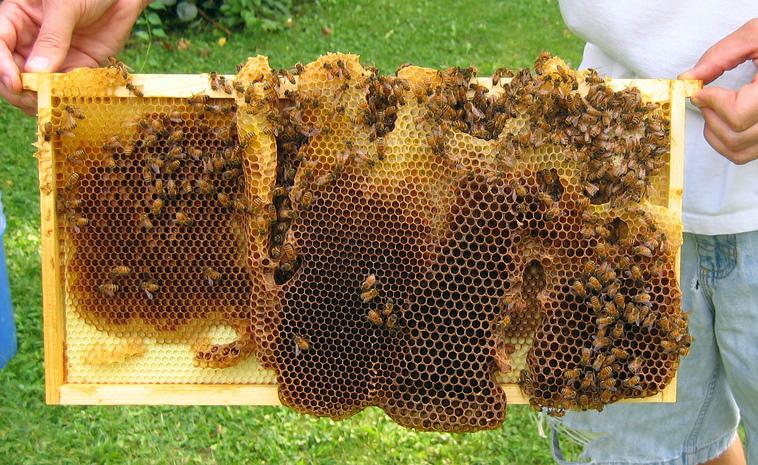 Strange comb in strange places - Honey Bee Suite