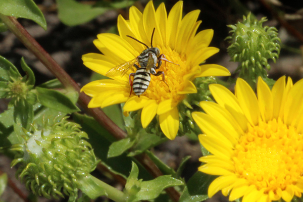 Yellow flowers of curlycup gumweed