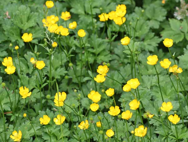 Buttercups (supposed to be lawn)