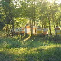 Morning in the bee yard at Shady Grove Farm, Corinth Kentucky. Photo by Nan.