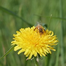 Bee on dandelion by Mary McElhinney.