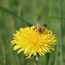 Bee on dandelion by Mary McElhinney.