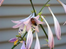 Bee on hosta by Sarah.