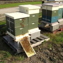 New swarm put to bed by Brad Raspet BingalingBees, Skagit County, WA.