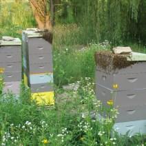 Bees bearding in 90-degree heat in Chris Schad's restored prairie.