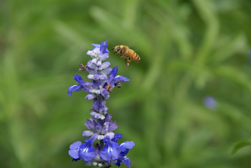 Bee foraging on salvia. Photo by Beverly Orthwein.