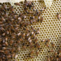 First hive for Steve, Amanda, and Ryan Reid of Burlington, Iowa. Photo by Ryan.
