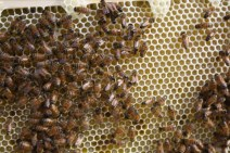 First hive for Steve, Amanda, and Ryan Reid of Burlington, Iowa. Photo by Ryan.