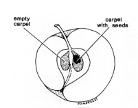 Apple flesh does not develop fully around an empty carpel. Diagram from gardenbees.com.