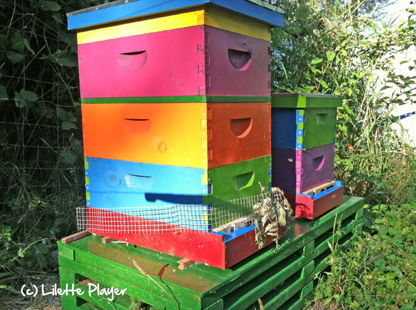 I can't imagine hives more colorful than these belonging to Lilette Player in Woodinville, WA.
