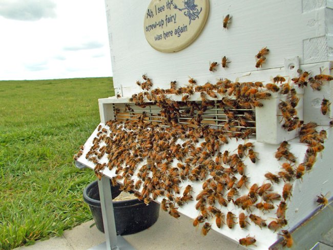The bees one hour after installation.