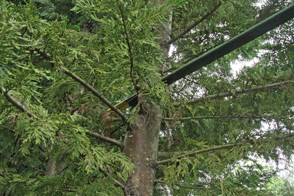 The t-post rests on a neighboring tree.
