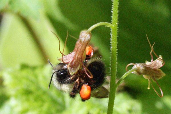 bumble-bee-5-11-13