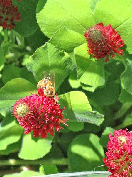 Honey bee on clover.