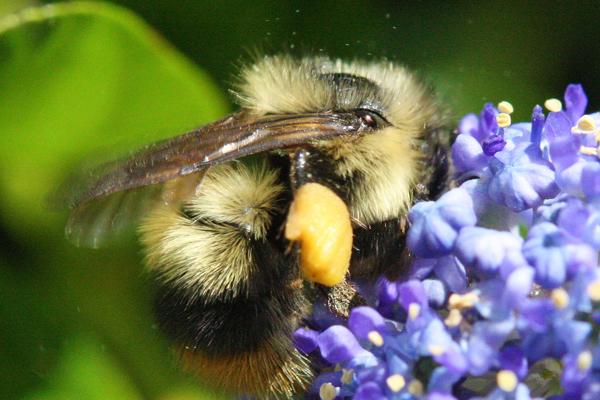 Bumble-bee-with-pollen-pellet