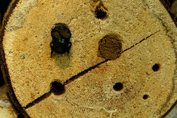 Mason-bee-in-a-squeeze