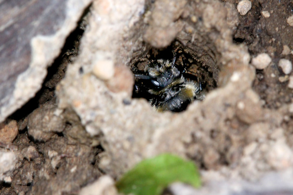 Andrena-in-hole
