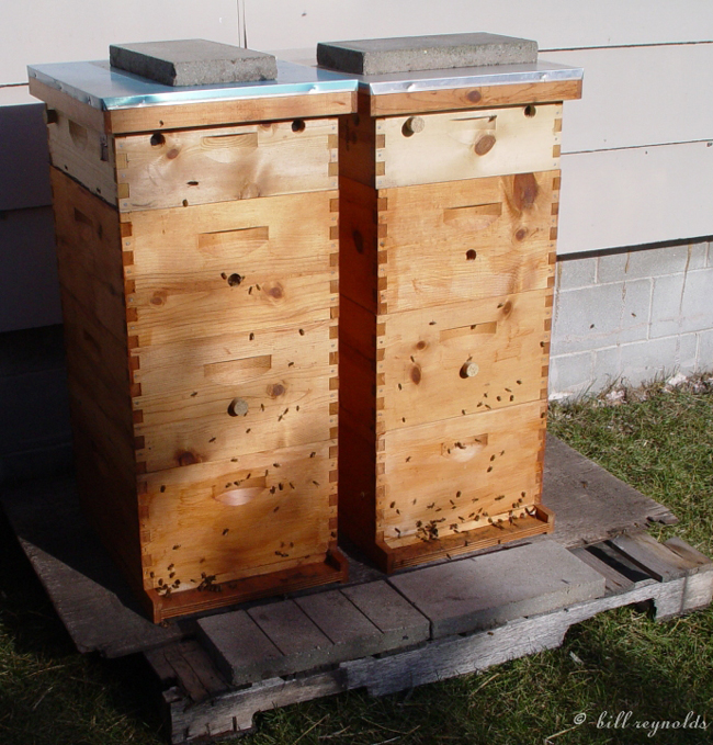 The two populated hives in a warmer time. © Bill Reynolds.