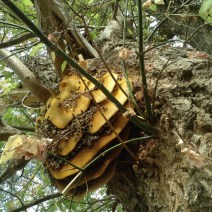 The comb extends 16 inches out from the tree trunk. © Naomi Price.