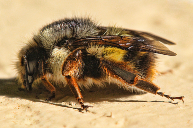 Bumble-bee-on-side-of-house