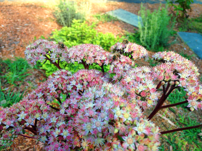 Autumn-Joy-sedum-Marc-Balboa-3