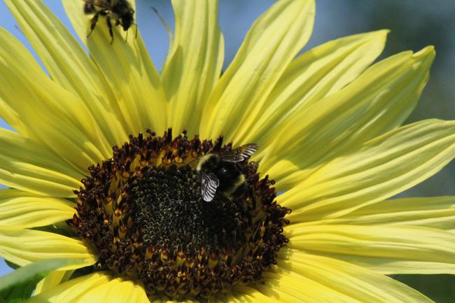 Bumble-bees-on-lemon-queen