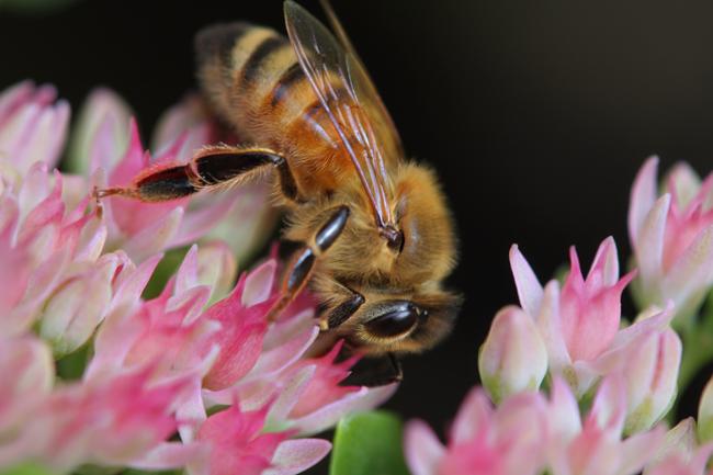 Honey-bee-on-Autumn-Joy