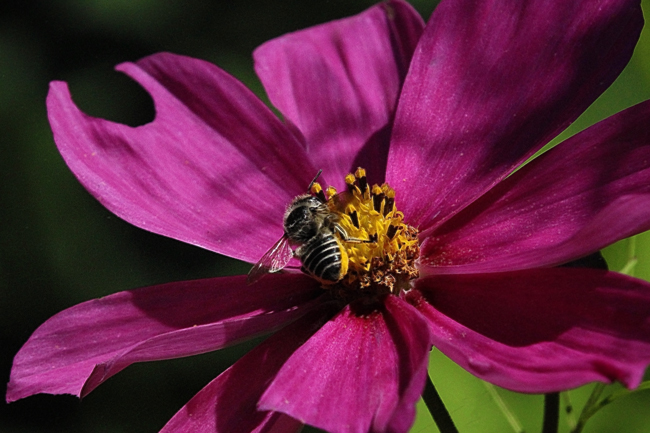 Purple-cosmos Rusty Burlew
