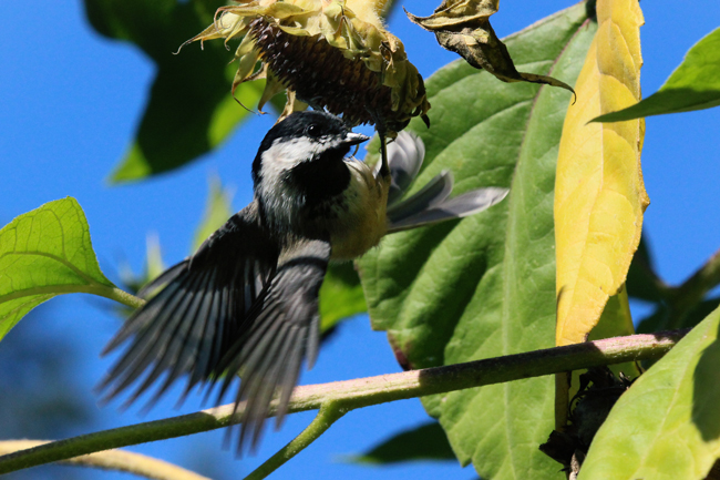 Chickadee-in-sunflowers-5