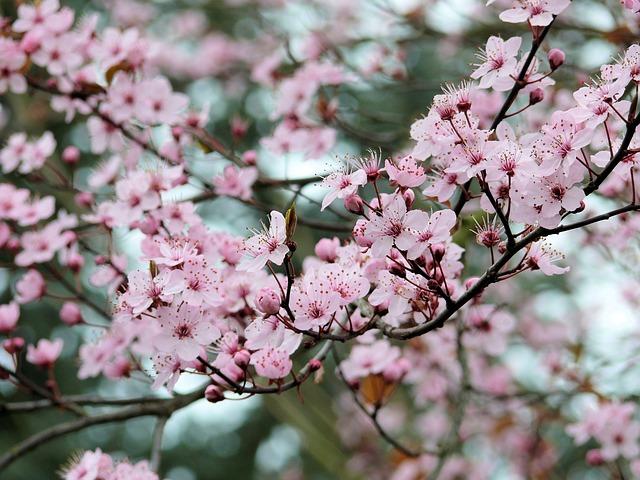 Fruit tree blossoms Pixabay