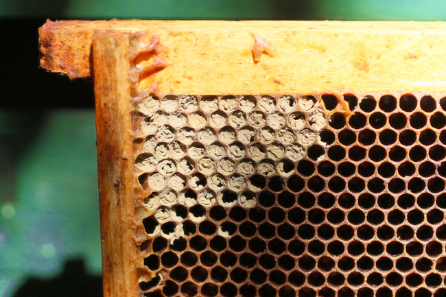 This brood frame was inside an empty bee hive. © Rusty Burlew.
