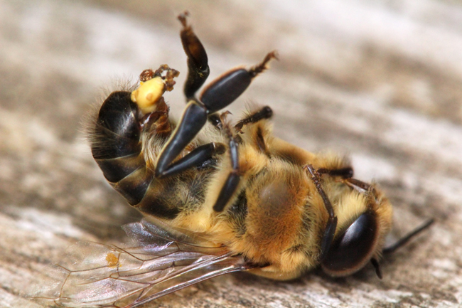 What Is Means To Be A Male Bee
