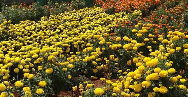 Marigolds. Pixabay photo.