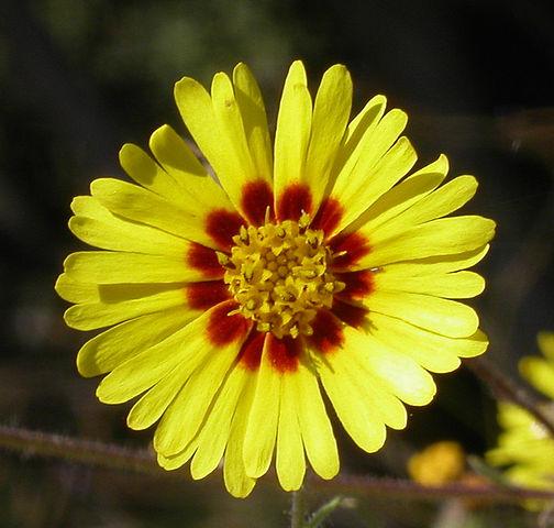 madia_elegans_flower