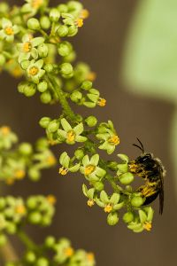 Native bee on poison ivy flower.