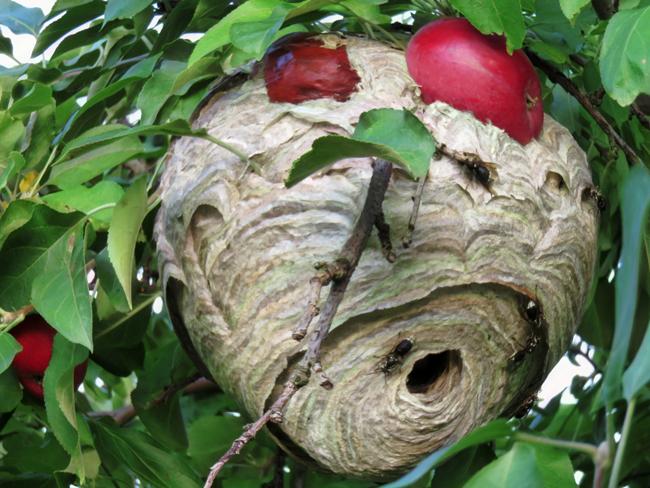 Hornet nest among apples.
