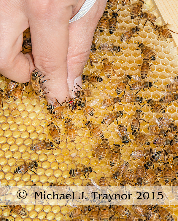 Picking up a queen from <em>Simple, Smart Beekeeping</em>. © Michael J Traynor.