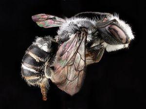 Bellflower resin bee