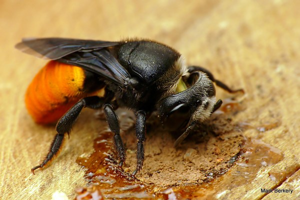 Resin bees: an Australian resin bee completes her nest