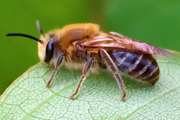 ground dwelling bees